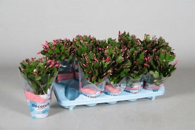 Schlumbergera Red Christmas Cactus Plant in a 10cm Pot