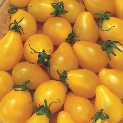 VEGETABLE 50 x TOMATO YELLOW PEAR//CHERRY BELL SEEDS SOW MARCH to MAY FREEPOST