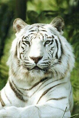 White Tiger Poster - Close Up - Hot New Rare 24X36