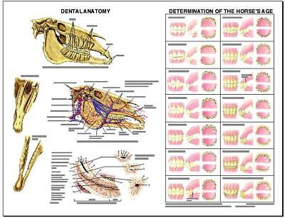 Equine Dental Anatomy Wall Chart #3 LFA  #2538 Horse *