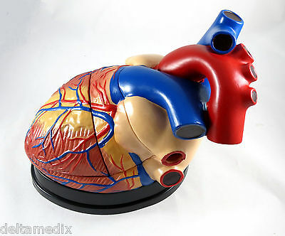 New Professional Educational Jumbo Heart Anatomy Medical Model IT-045 ANGELUS