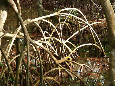 100 Graines de PALETUVIER ROUGE (Rhizophora mangle) 100 RED MANGROVE Seeds