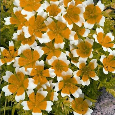 New Pack Kings Seed 'Limnanthes Douglasii' Garden Flower Seeds