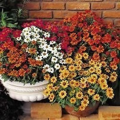 New Pack Kings Dwarf Zinnia Profusion Mix Flower Seeds