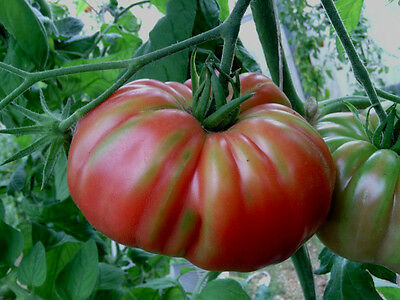 TOMATO Mariannas Peace 25 seeds ORGANIC vegetable garden NON GMO open polinated