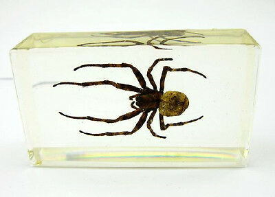 Real Insect Paperweight Taxidermy Specimen - (Orb Web Wasp) Cool Real Spider
