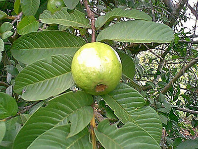 Guava Thai white 10 seeds fruit tree