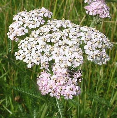Yarrow 500 seeds insect repellent and compost activator flower Herb garden