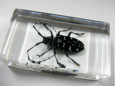 Spotted Longhorn Beetle Insect Specimen Lucid Paperweight L7.2*Wide4*H2cm*W71g