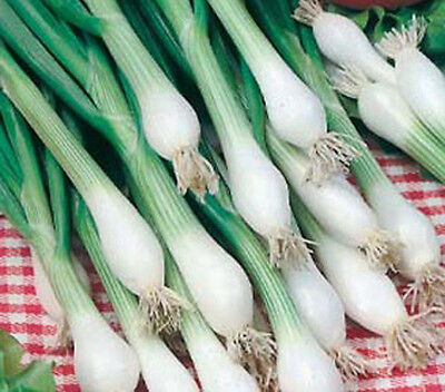 Shallot 'White Lisbon' vegetable garden salad 150 seeds Spring Onion