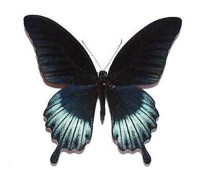 PAPILIO LOWII - unmounted butterfly