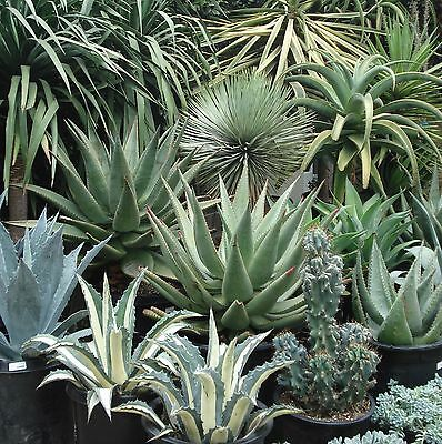 10 Agave mix seeds *Easy grow * Care free * C34
