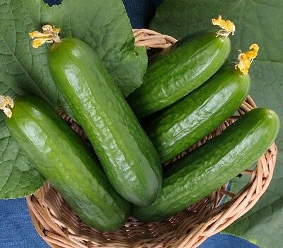 Cucumber 'Muncher Burpless' 15 seeds vegetable garden salad