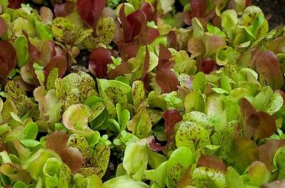 LETTUCE 'Mix'  220 seeds vegetable garden salad  ORGANIC