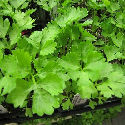 Celery 'Chinese' 250 seeds vegetable garden