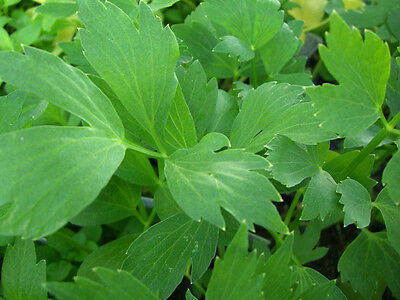 LOVAGE 30 seeds culinary herb garden perennial