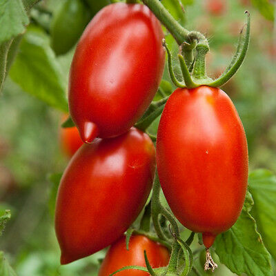 TOMATO 'Amish Paste' 25 seeds Vegetable garden HEIRLOOM NON GMO open polinated