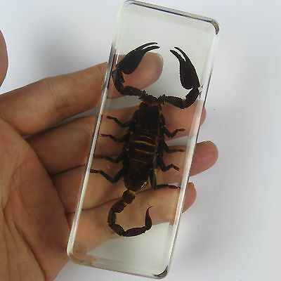 Lucite Insect Specimen - Large Black Scorpion (Asian forest scorpion) 110*43mm