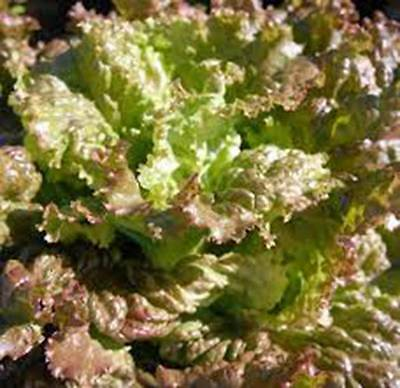 Red Romaine Lettuce Seed, Heirloom, Organic, Non Gmo,  50+ Seeds, Garden Seed
