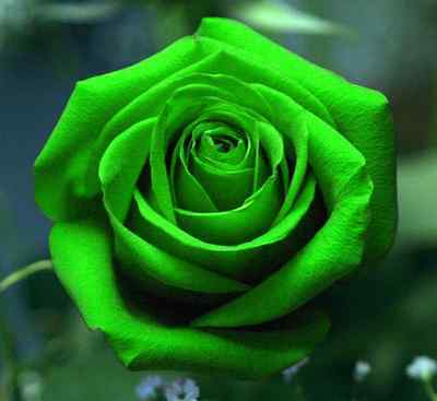 FD701 10 Seeds Chinese Green Rose Seed For Lover Green Rose Seed ~10PCs Seeds/