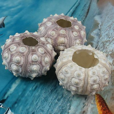 One(1) 2.5-3.5'' Knobby Sputnik Sea Urchin Phyllacanthus Imperialis Beach Decor