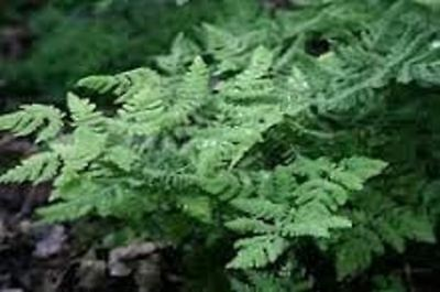 Currania Dryopteris Plumosum Fern Plant in a 13cm Pot. Rarely Offered