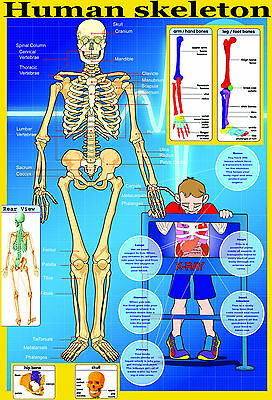 laminated educational wall poster YOUR SKELETON | human body key bones classroom