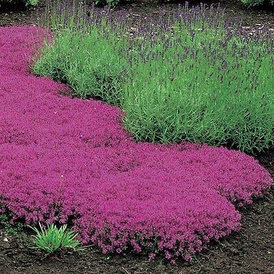 CREEPING THYME 300 seeds flowering garden herb lawn  groundcover Thymus serpyll*