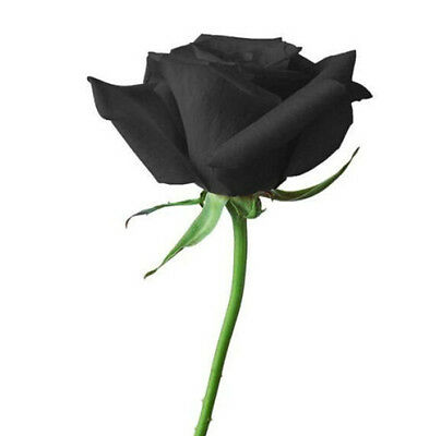 FD704 10 Seeds China Rare Black Rose Seed For Lover Black Rose Seed Fresh 10PC:)