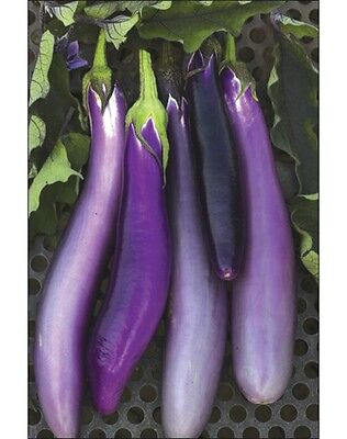 EGGPLANT 'Ping Tung Long' 20 seeds vegetable garden Heirloom