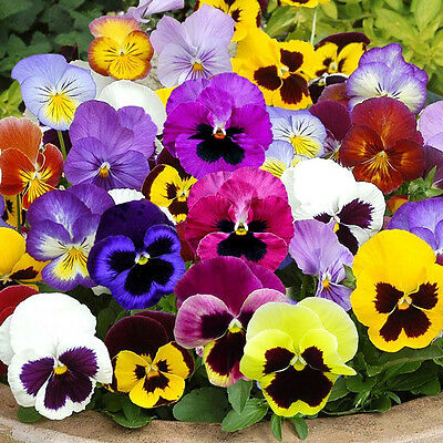 PANSY Swiss giant mix 50 seeds flower garden edible flowers colour hardy annual