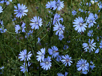 Chicory 'Coffee' garden flowers 'coffee substitute' 25 seeds