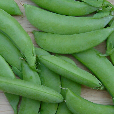 PEA Sugar Snap Cascadia 30 seeds vegetable garden sugarsnap ORGANIC NON GMO