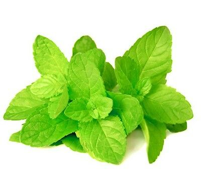 Spearmint 250 seeds Mentha Spicata  Grow your own herb  easy grow  E88