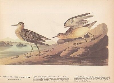 """1942 Vintage AUDUBON BIRDS #152 /""""WHITE BREASTED NUTHATCH/"""" Color Art Plate Litho"""