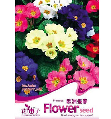 Colorful Primrose Flower Seed Primula Malacoides 1 Pack 50 Seed Free Ship