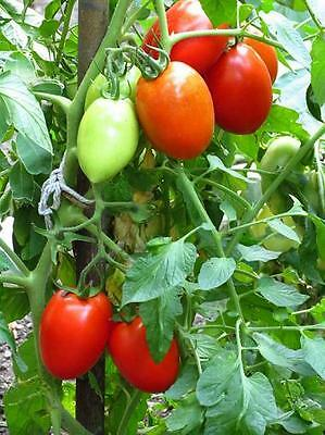 TOMATO Cherry ROMA 20 seeds vegetable garden HEIRLOOM NON GMO open polinated