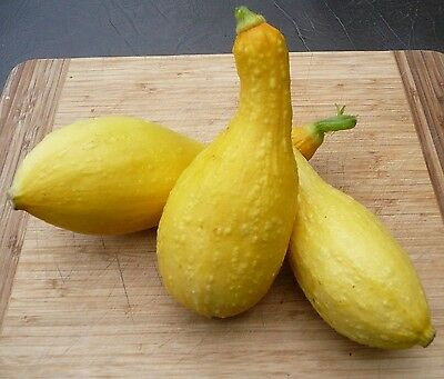 Golden Crookneck Zucchini Summer Squash 25 seeds * Heirloom *Non GMO* CombSH H21