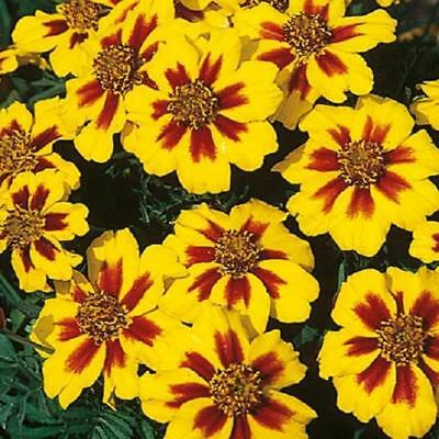 Pack French Marigold 'Naughty Marietta' Flower Seeds King's Quality Seed