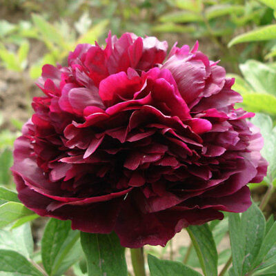 1 Pack 10 Seeds Red China Peony Paeonia Suffruticosa Flower Seeds
