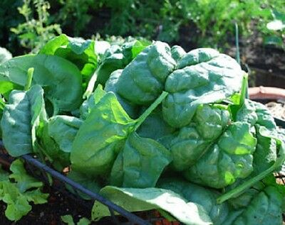 Organic Heirloom Spinach Seeds-Giant Nobel-Huge Plant! Very Productive!
