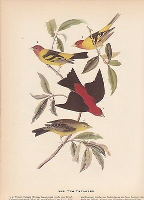 """1942 Vintage AUDUBON BIRDS #354 """"TWO TANAGERS"""" LOVELY Color Art Plate Lithograph"""