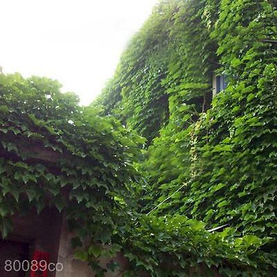 2 Bags Spring Strong Vitality Boston Ivy Parthenocissus Seeds Wall Plants Green