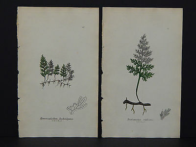 The Ferns of Great Britain John E Sowerby 1855 Two Plates Original Hand Color 04