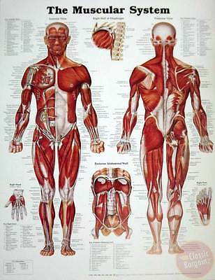 """The Male Muscular System Anatomical Chart Poster (20"""" x 26"""") NEW * man anatomy"""