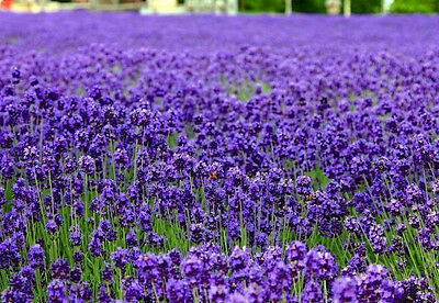 English Lavender Lavandula angustifolia 250 seeds * Elegant * Beautiful * CombSH