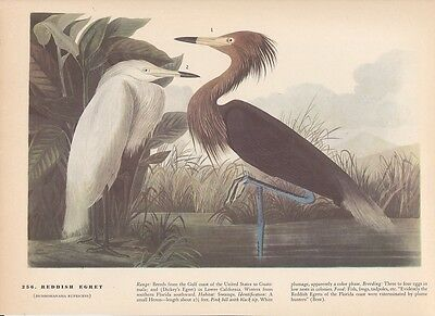 "1942 Vintage AUDUBON BIRDS #256 ""REDDISH EGRET"" WOW! Color Art Plate Lithograph"