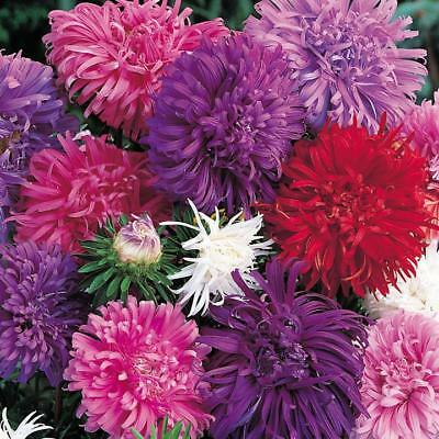 Pack Flower Seeds Aster 'Ostrich Plume Mixed' Kings Quality Garden Seeds