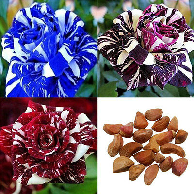 20pcs Dragon Rose Bush Flower Rare Seeds Beautiful Decor Plant Garden 3Color