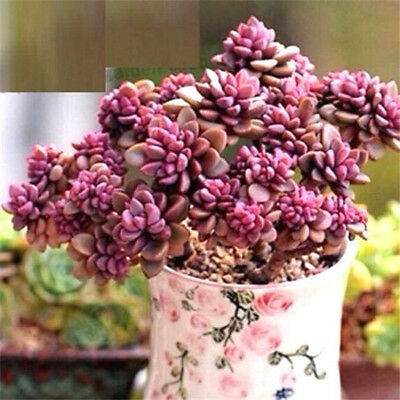 FD2222 Rare Succulents Seeds Mini Potted Flower Organic Seeds ~1 Bag 50 Seeds~ ♫